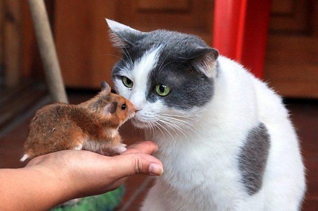 Кот с хомяком