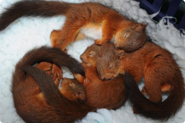Как спит белка