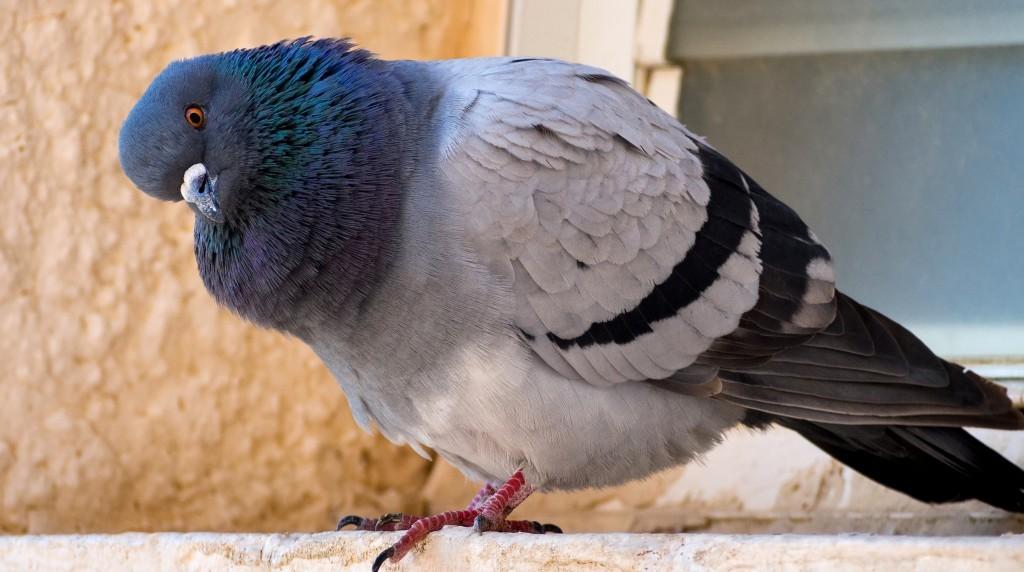 Сальмонеллёз у голубей