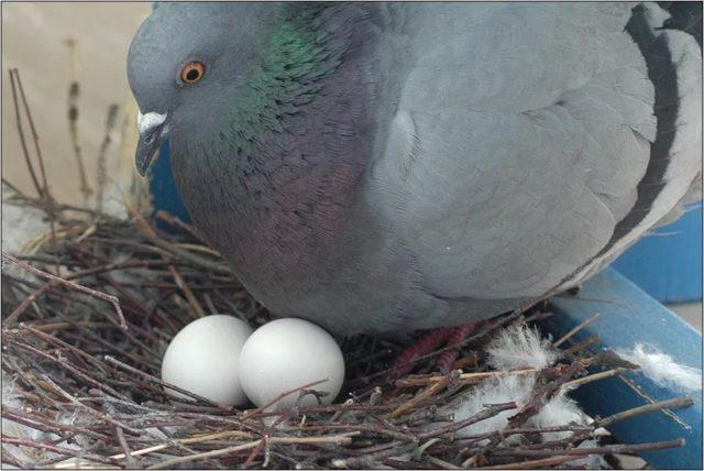 Яйца голубей, фото