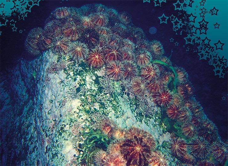 Морские ежи