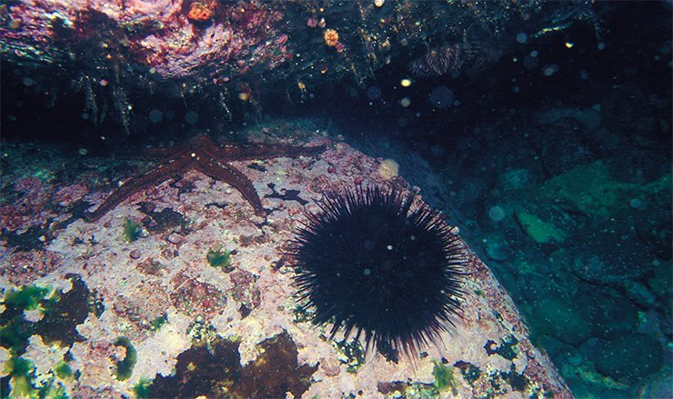 Чёрный морской ёж