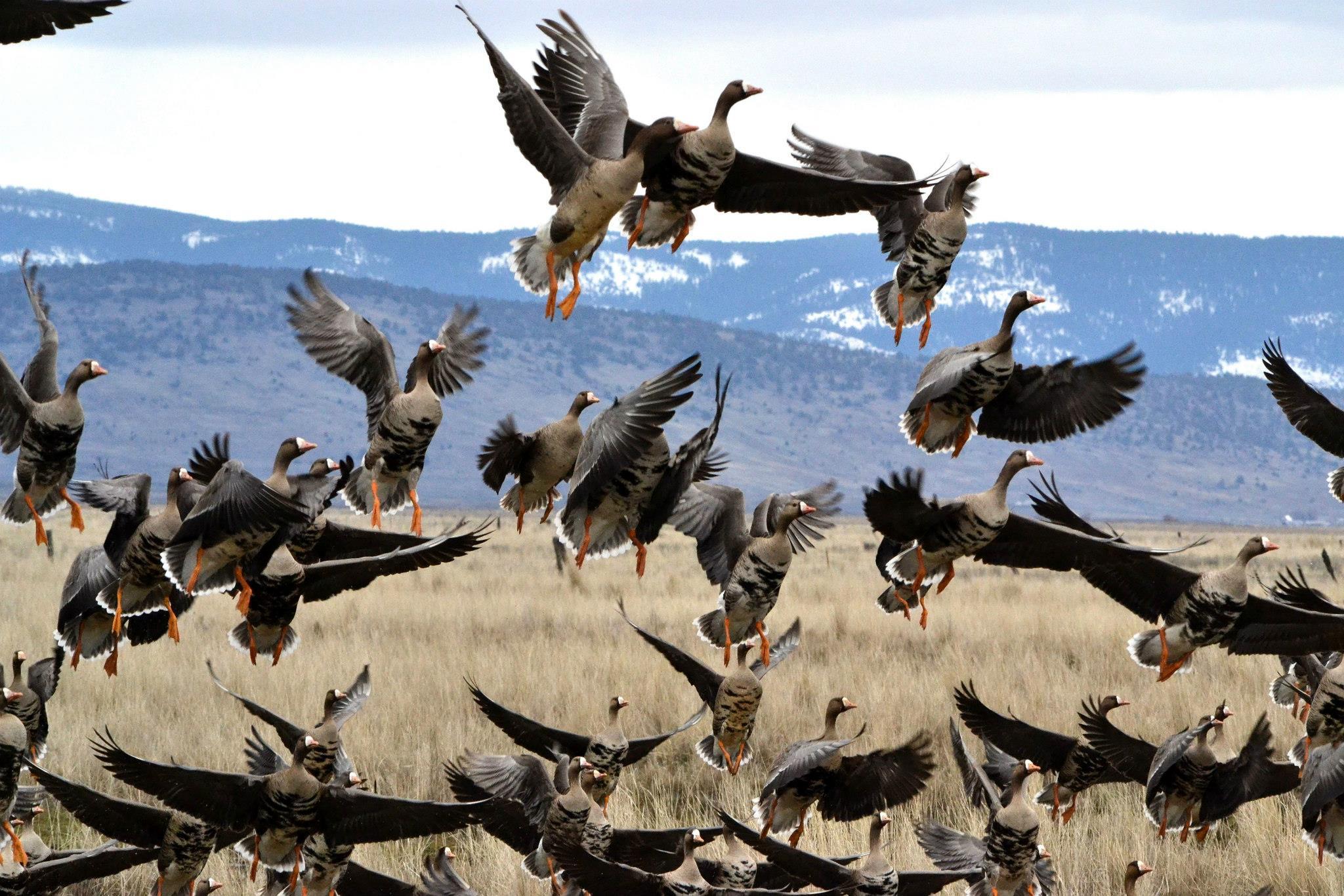 Кочуют ли гуси?