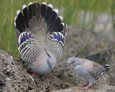 Хохлатый бронзовокрылый голубь