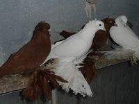 Северокавказские голуби