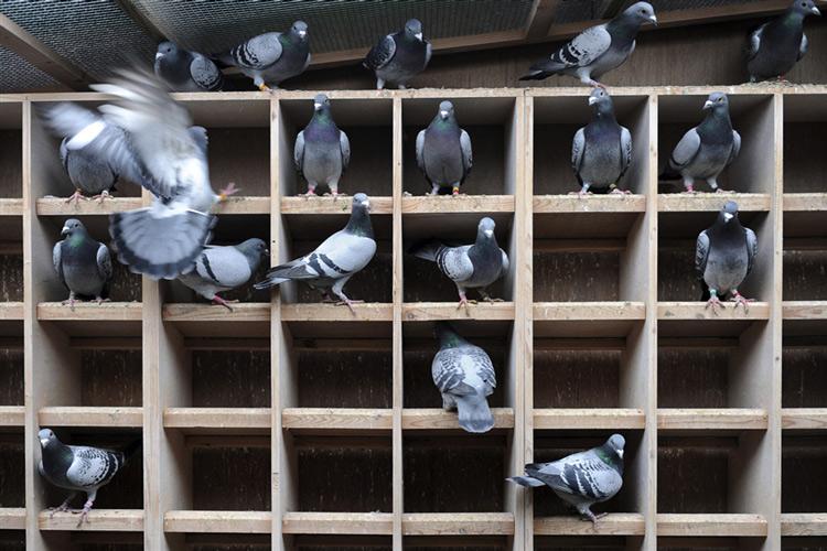 Голуби разведение содержание уход в домашних условиях