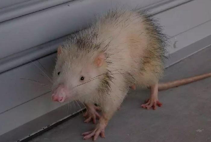 Крысиный ёж