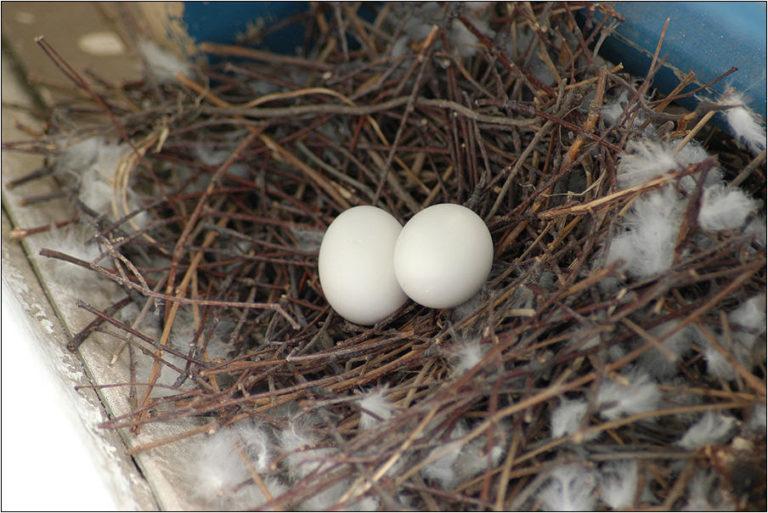 Гнездо голубя