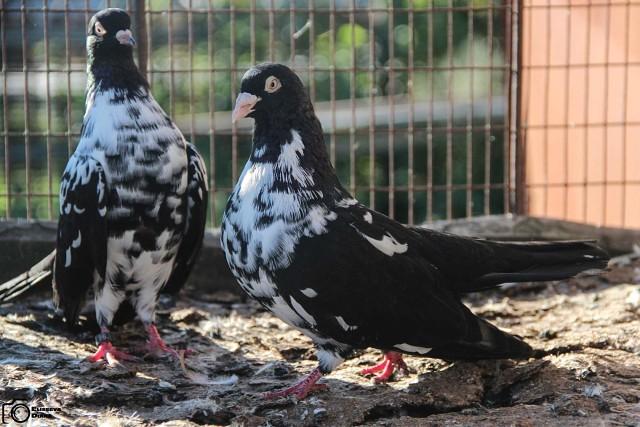 Мордовские голуби
