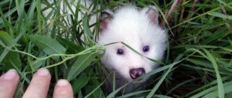 Енотовидная собака белая
