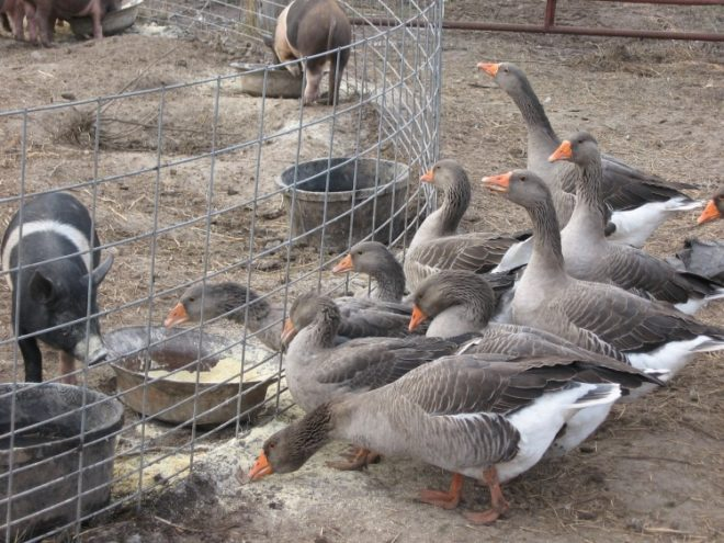 Уральские гуси