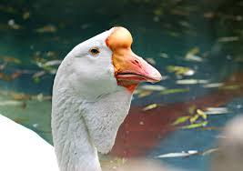 Африканские гуси