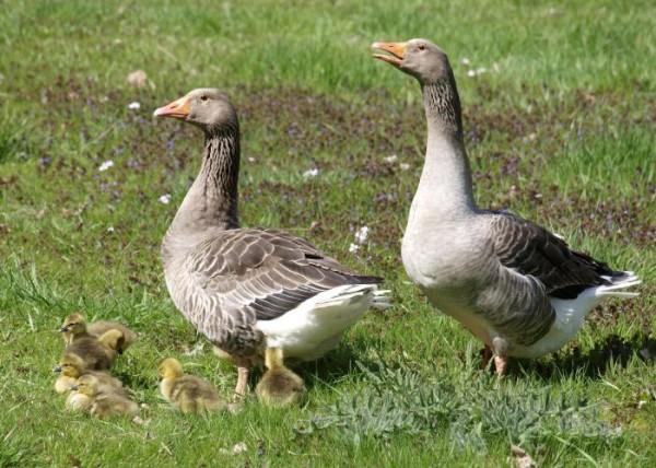 Ландские гуси