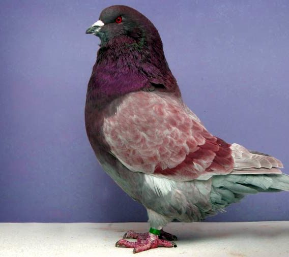 Самые большие голуби